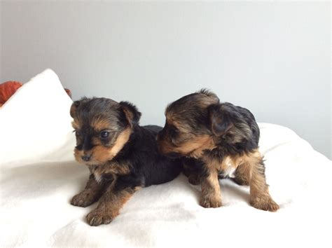 small yorkies for sale uk small yorkie for sale rochester kent pets4homes