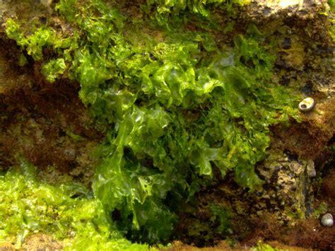 imagenes de algas verdes y azules proyecto biosfera