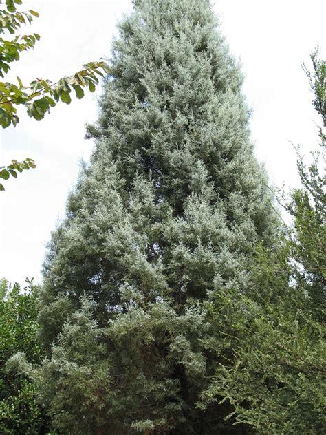online plant guide cupressus arizonica blue pyramid arizona cypress