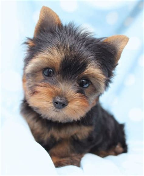 miniature yorkies for sale in louisiana yorkie pups for sale glasgow area