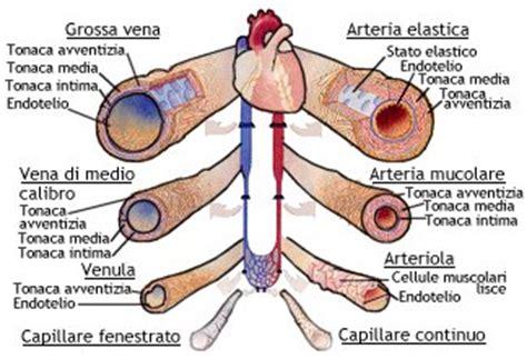 struttura vasi sanguigni sistema circolatorio benessere