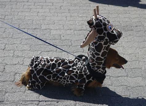 costume for dachshund best dachshund costume dachshunds in costume dachshund costume