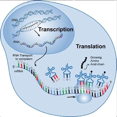 transcription diagram what is transcription and how is it used in genetics quora