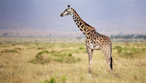 with hd giraffe hd wallpapers free