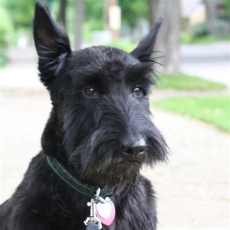 scotty dogs pin by hilary mcconkie on scottie lovin