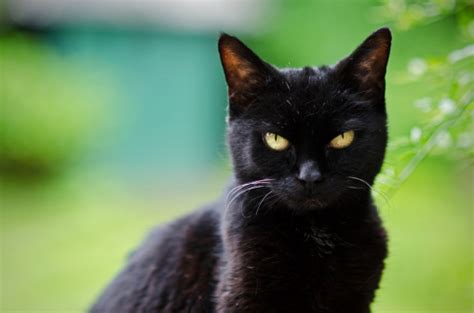 a black cat the mysterious black cat the valley patriot
