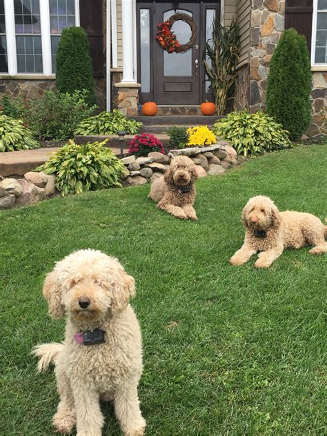 goldendoodle puppy coat transition willowgreen golden doodles of new york puppies for sale willowgreen goldendoodles