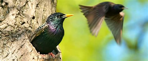 wild about birds backyard birds european starling
