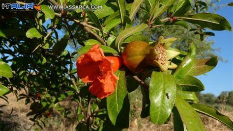 fiori melograno melograno fiore e frutto natura piante ed animali