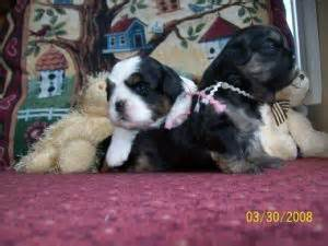 yorkie puppies for sale in scranton pa shih tzu puppies for sale