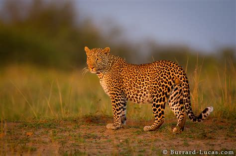 leopard sunset burrard lucas photography