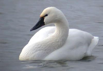 tundra swan | kingdom of bird