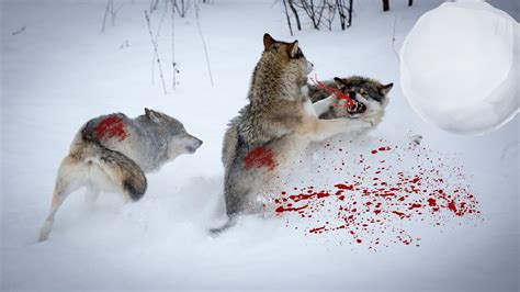 wolf vs wolf attack wolf wolves vs wolves fight black wolf vs white wolf fight t fashion