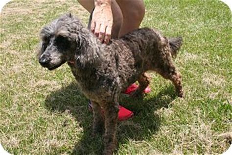 mini goldendoodles houston marley doodle adopted houston tx poodle