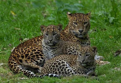 imagenes de jaguar y leopardo enciclopedia animal animales de la sabana leopardo
