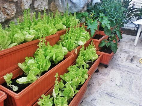 coltivare lattuga in vaso coltivare l orto in vaso ecco come fare dolcevita