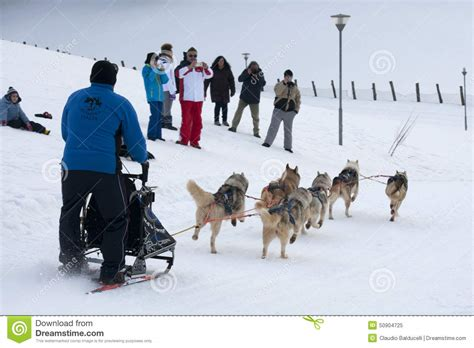 how are sled dogs trained a of sled dogs during the editorial image image 50904725