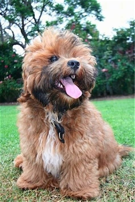 shih tzu vs yorkie shorkie tzu breed information and pictures