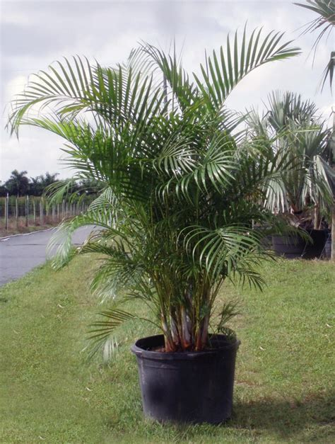 areca palm areca palm tree pretty flowers plants trees pinterest