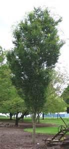 Green Vase Zelkova Tree Tree Profile For The Japanese Zelkova