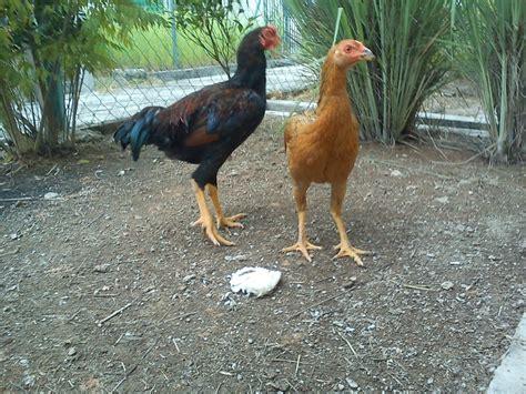 Bibit Ternak Ayam Petelur cara budidaya ternak ayam kung untuk pemula aengaeng