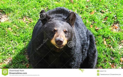 north american bear center why people fear bears north american black bear north carolina stock