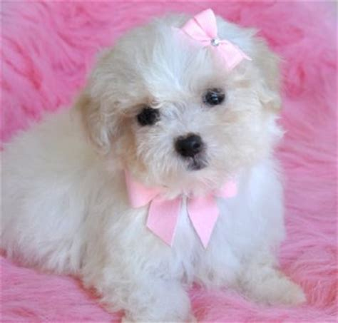yorkie poo puppies for sale in pittsburgh pa yorkie poo puppies for sale in pittsburgh pa website of xipoline