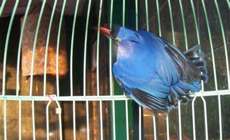 Kandang Sangkar Jangkrik Bulat burung rambatan perawatan minimal suara maksimal om kicau