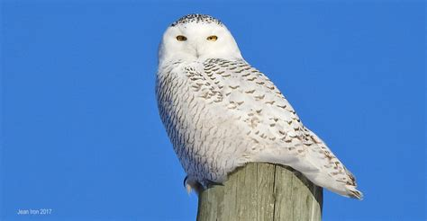 year of the snowy owls