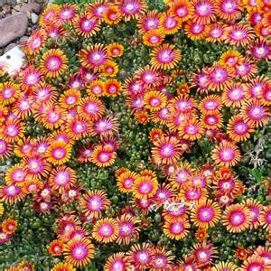 Full sun perennials on pinterest perennials ground cover plants and