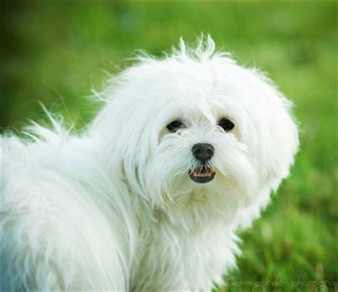 maltese dogs pictures, breed info & care tips | petmd