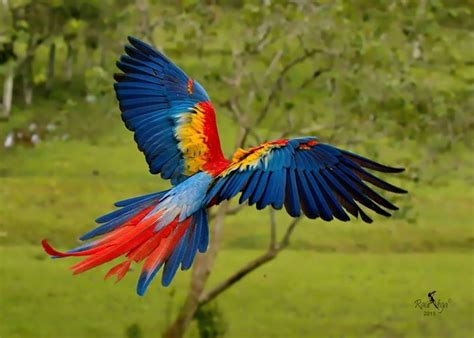 imagenes de lapas rojas lapa roja guacamaya scarlet macaw ara macao r 237 o