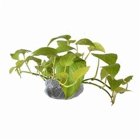 Tanaman Sirih Gading Kuning Pohon Sirih Gading Kuning 0895336476769 jual tanaman sirih gading kuning neon pothos bibit