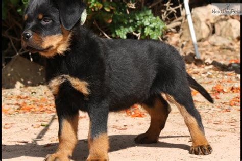 puppies for sale inland empire the best in usa rottweiler puppy for sale near inland empire california 2b3a2f7a a8c1