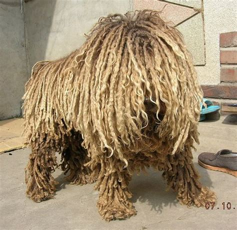 dogs that look like mops that looks like a mop puppies www imgkid the image kid has it