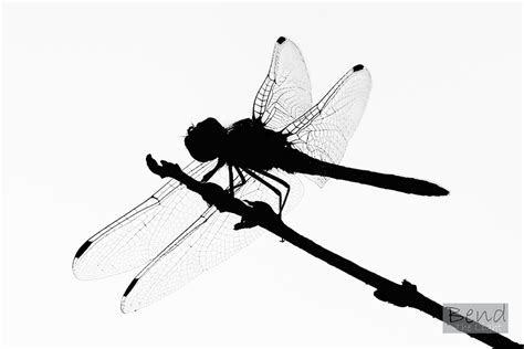 dragonfly images free free download best dragonfly