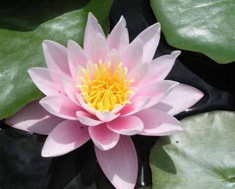 imagenes de flores espirituales quot flor de loto quot flor nacional de la india