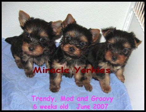 maries yorkies ct yorkies terriers yorkie breeder nc carolina terrier