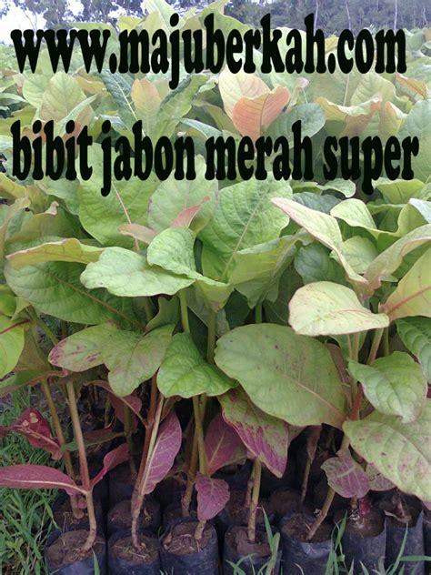 Bibit Durian Bawor Wonogiri bibit jabon merah bibit tanaman jabon bibit tanaman