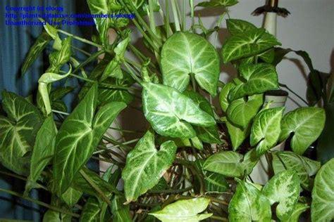 plantfiles pictures white veined arrowhead vine