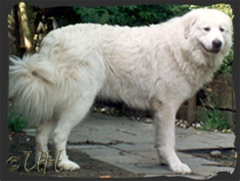 great pyrenees colors great pyrenees connection great pyrenees colors page 2