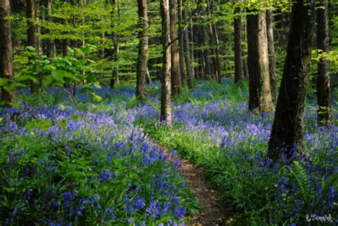 bluebell forest bbc nature uk spring in pictures stunning bluebells