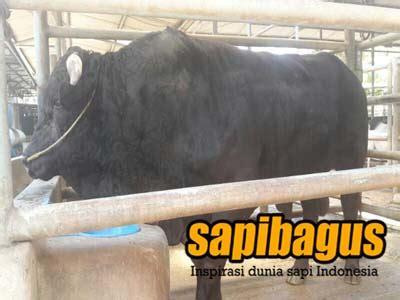Bibit Sapi Wagyu dari rumpin bogor pt kar membangun peternakan sapi indonesia sapibagus