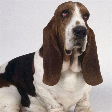 hound names 10 best basset hound names