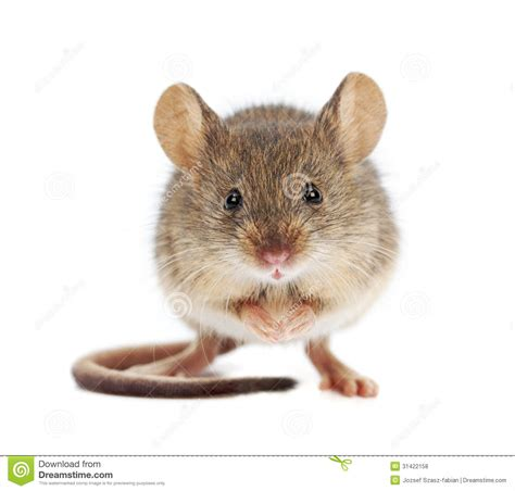 Cute House Plans by House Mouse Standing Mus Musculus Stock Photo Image Of Small Stand 31422158