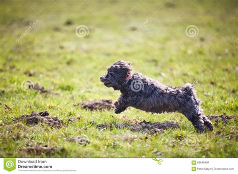 havanese jumping havanese running and jumping stock photo image 68649481