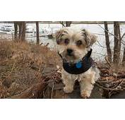 Yorkipoo Designer Dog Breed  Yorkshire Terrier Poodle Mix