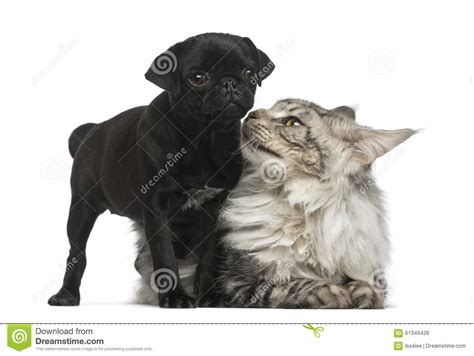 pugs maine maine coon and pug puppy stock photo image 61349428