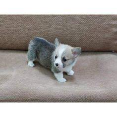 teacup corgi puppies for sale applehead teacup chihuahua puppies for sale ideas for the house