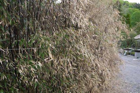 bambus winter bambuspflege im winter winterschutz bambus pflege